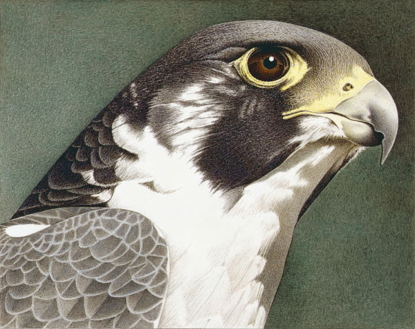 Barbara Banthien Limited Edition Print - Peregrine Falcon