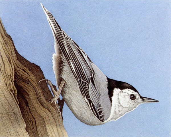 Barbara Banthien Limited Edition Print - White-Breasted Nuthatch