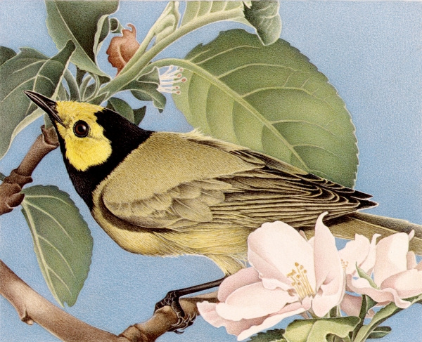 Barbara Banthien Limited Edition Print - Hooded Warbler