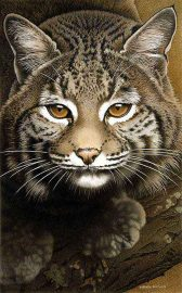 Barbara Banthien Limited Edition Print - Bobcat