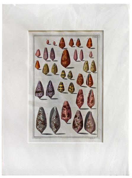 Antique Engraving - Indes Testarum Conchyliorum (1742)