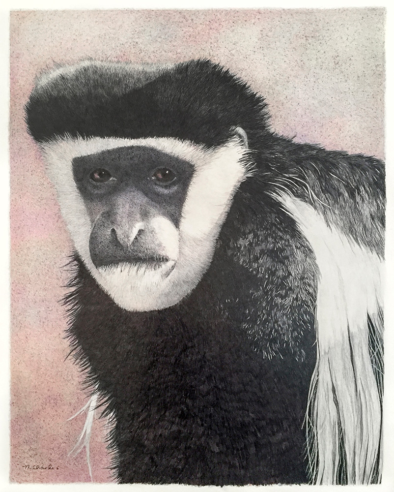 Nancy Charles Original Drawing - Mantled Guereza