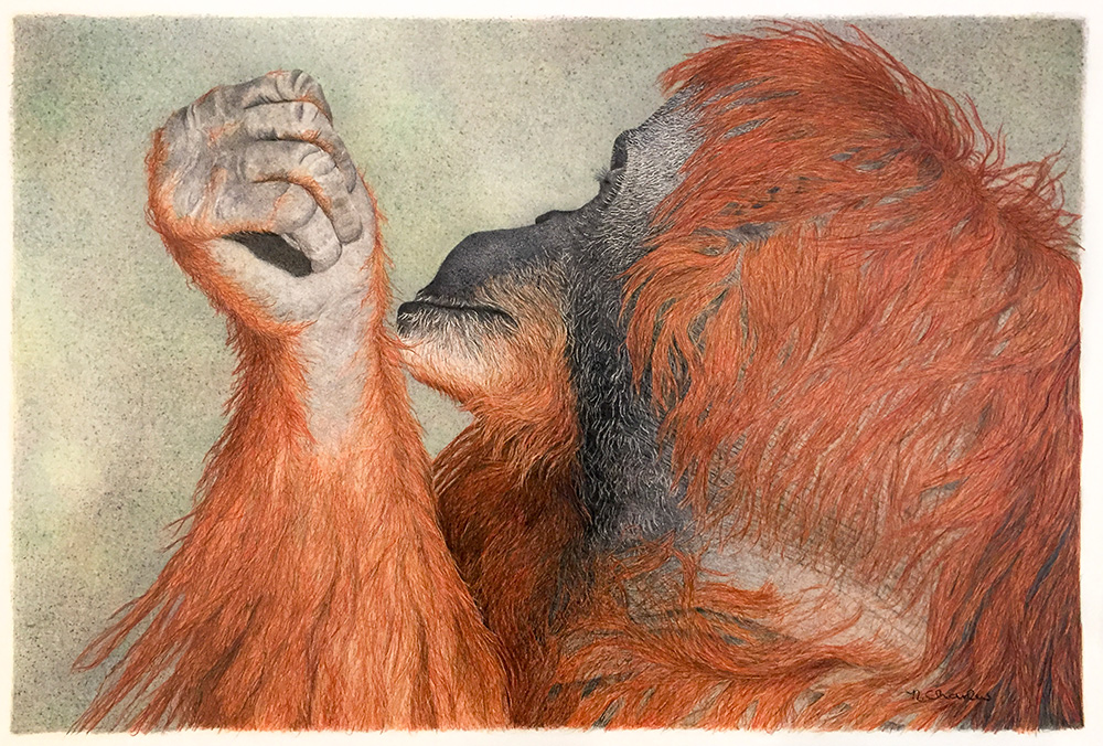 Nancy Charles Original Drawing - Orangutan