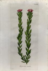 Antique Botanical Engraving - Rohria hispida