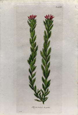 Antique Botanical Engraving - Rohria hispida