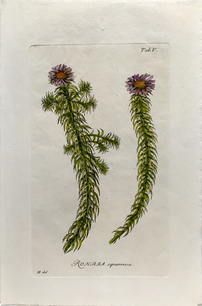Antique Botanical Engraving - Rohria squarrosa
