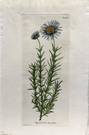 Antique Botanical Engraving - Rohria lanceolata