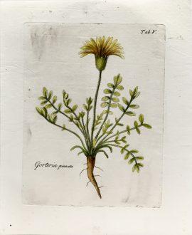 Antique Botanical Engraving - Gorteria Pinnata
