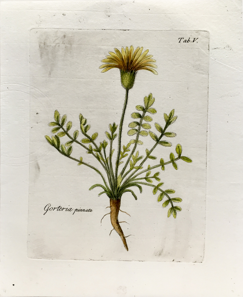 Antique Botanical Engraving - Gorteria Pinnata