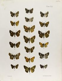 Antique Entomology Lithograph - Butterfly Plate (1892)