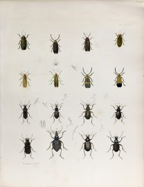 Antique Entomology Lithograph - Beetle Plate (1854)