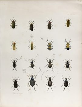 Antique Entomology Lithograph - Beetle Plate (1854)