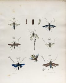Antique Entomology Lithograph - Wasp Plate (1854)