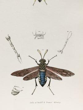 Antique Entomology Lithograph - Wasp Plate (1854)