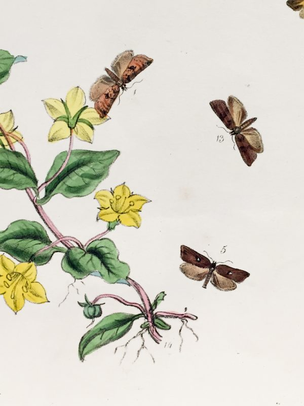 Antique Entomology Lithograph - Butterfly Plate c.1890