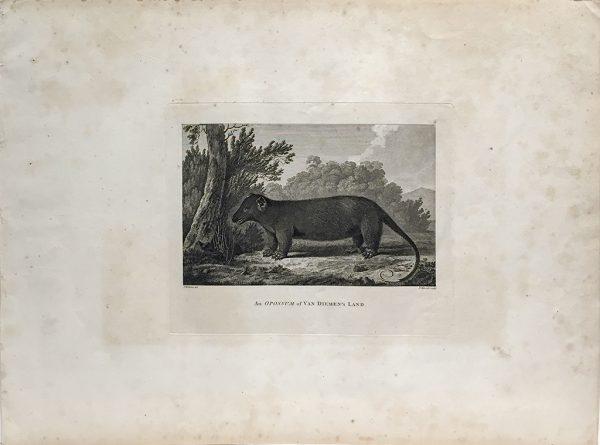 Cook Engraving - An Opossum of Van Dieman's Land