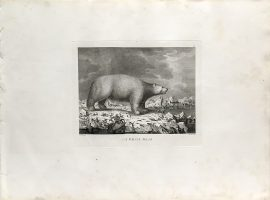 Cook Engraving - A White Bear