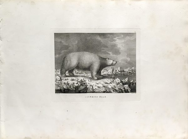 Cook Engraving - A White Bear